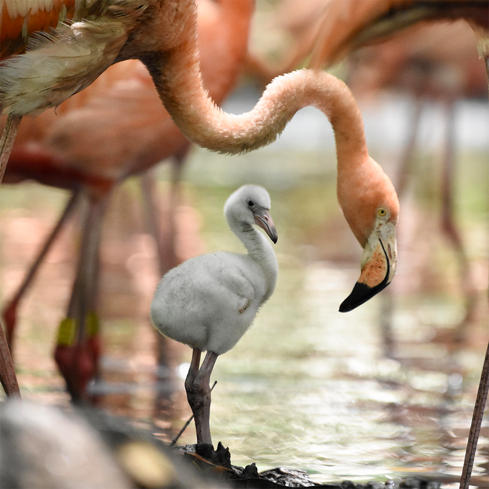 Flamingo - Aviario Nacional
